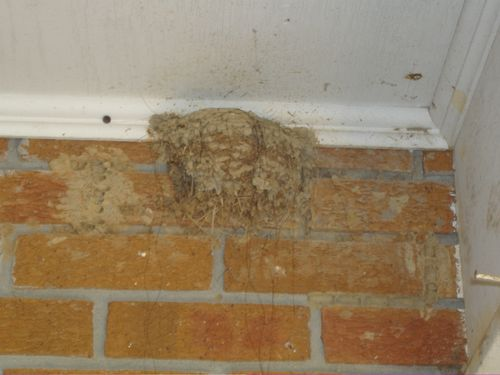 Chimney Swift Nest 2